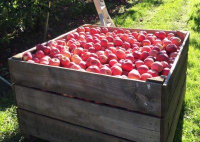 apple basket 2